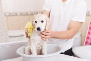Cómo Dar El Primer Baño A Un Cachorro