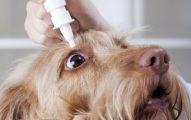 Cuáles Son Los Síntomas De La conjuntivitis En Perros?