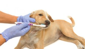 Cuidados Para La Higiene Bucal Para Perros