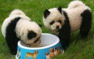 Existen Perros Panda