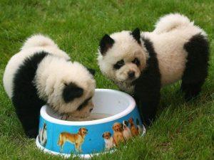 ¿Existen Perros Panda?