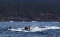 Lobo marino surfeando sobre ballenas