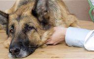 Qué Hacer Si Su Perro Se Envenena