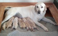Ventajas De esterilizar Un Perro