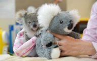 Koala bebé Perdió Su Mamá