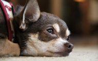 La Anemia En El Perro