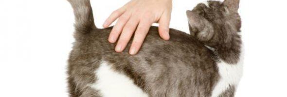 Los Gatos Levantan El Lomo Cuando Los Acaricias