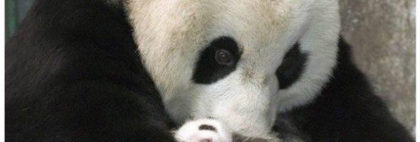 Panda Ve Por Primera Vez Su Bebé