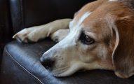 Por Qué Los Perros Se Enferman?