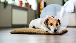 Enfermedades Comunes En Los Perros Relacionados Con La Edad