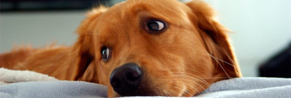 La Artritis En Nuestro Perro