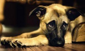 La hepatitis infecciosa en perros