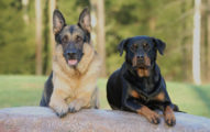 Cáncer De Próstata En Los Perros