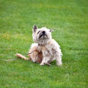 Mi Perro se Rasca Mucho las Orejas y se Sacude