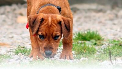 Que Pasa si un Cachorro se Come su Excremento