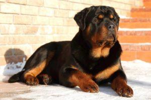 Los Perros Más Grandes Del Mundo Reales y Peligrosos
