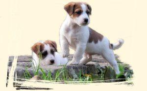Por Qué Se Le Cae El Pelo A Mi Perro Cachorro