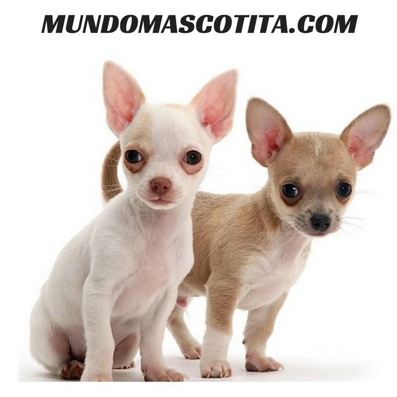 Porque Tiemblan Los Chihuahuas