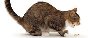 Mi Gato Vomita Mucho y No Come