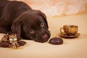 Que Pasa Si Un Perro Come Chocolate Por Accidente