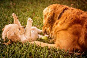 Como los Perros Cuidan a Sus Crías