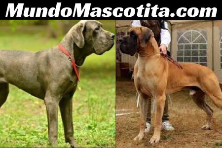 Dogo Alemán y Gran Danes Diferencias
