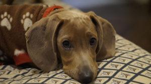 Glaucoma en Perros Tratamiento
