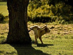 Perdidas de Orina en Perros Adultos