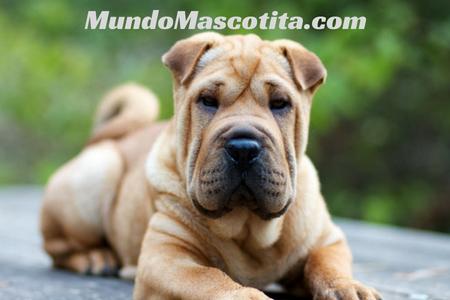 Perros Arrugados Raza Como se Llaman