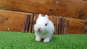 Razas de Conejos Enanos y sus Caracteristicas