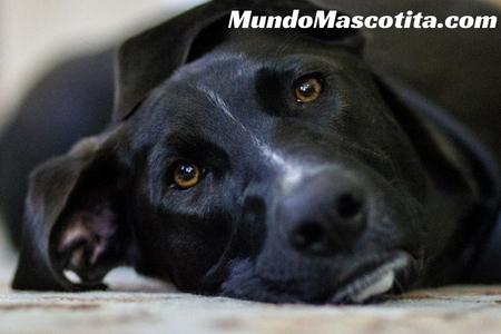Cataratas En Los Perros Síntomas Y Remedios Caseros