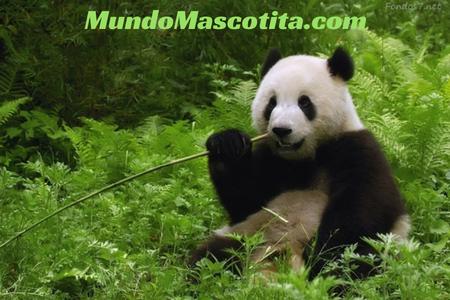 Información del Oso Panda en Español