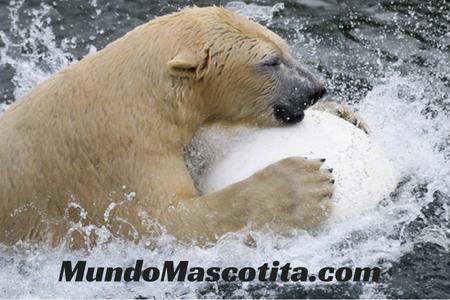 Osos Polares Peligro Extinción por Calentamiento Global