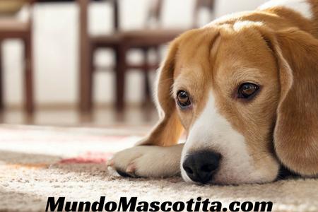 Ácido Fólico para Perros con Anemia