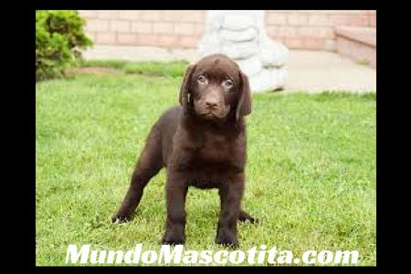 Como Entrenar a un Perro Labrador para que Ataque