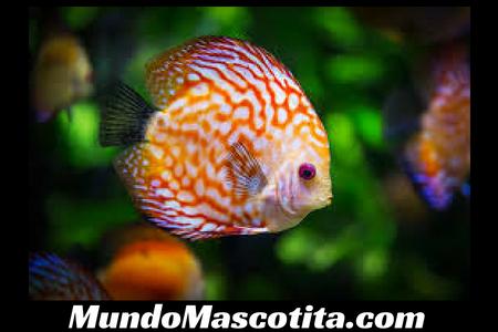 enfermedades de los peces de agua fr a punto blanco