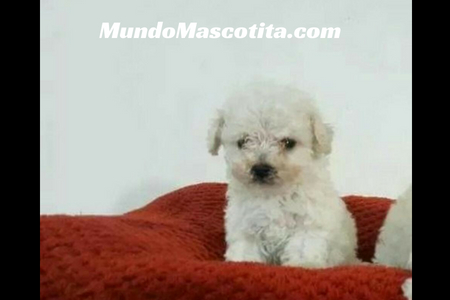 Perros French Poodle Mini Toy Características