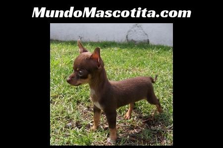 A que Edad se Puede Cruzar un Perro Chihuahua Macho