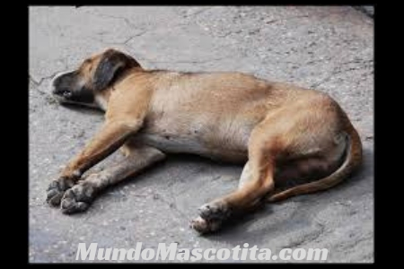 Infección Estomacal en Perros