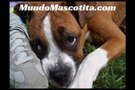 Remedios Caseros para Perros con Vomito y Diarrea