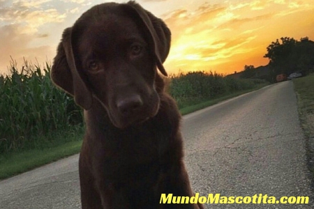 Cuanto Vive un Labrador