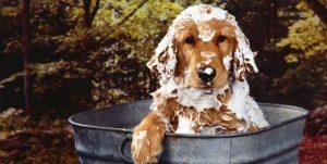 Cómo Puedo Evitar Que Mi Perro Tenga Pulgas