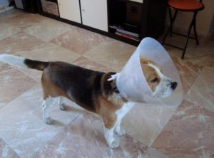 Cómo Puedo Evitar Que Mi Perro Se Rasque Una Herida