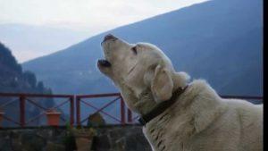 Sabe Por qué Aúllan Los Perros?