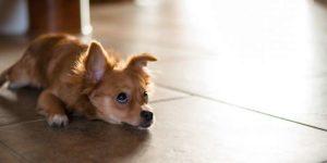 La Pancreatitis En Los Perros
