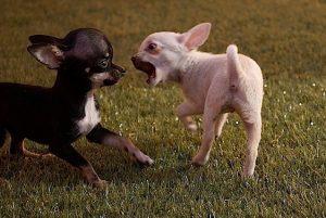 por qué se generan las riñas de perros