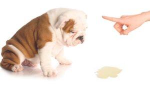 La infección De La Vejiga En Los Perros