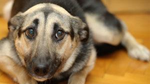 Las Causas De Los Temblores En Los Perros