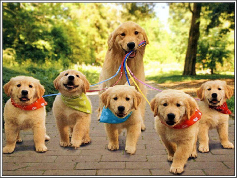 Los Perros Golden Retriever