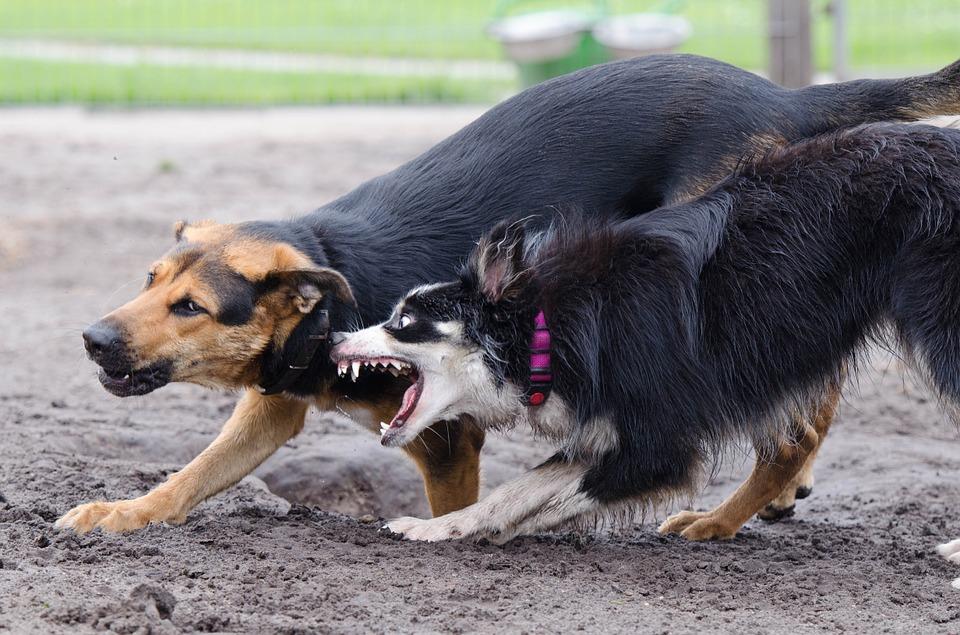 Vacunación Contra La Rabia Para Los Perros